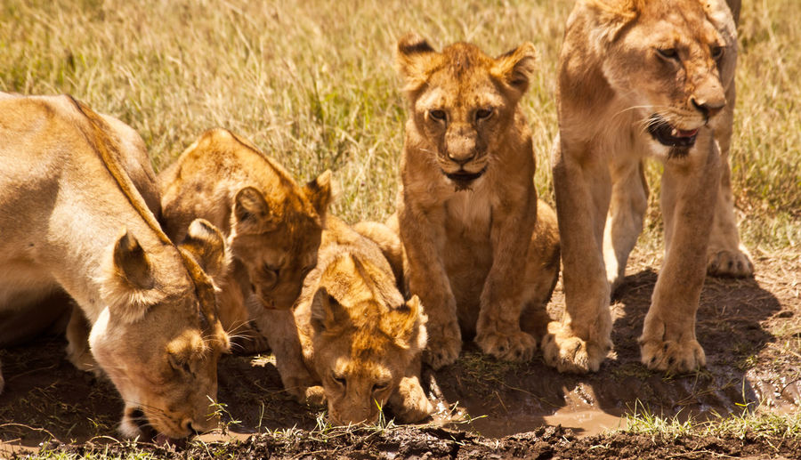 Family Serengeti National Park Tanzania Africa African Safari Animal Animal Themes Animal Wildlife Animals In The Wild Day Lion - Feline Lion Cub Lioness Mammal Mother And Cubs Nature No People Outdoors Safari Animals Young Animal