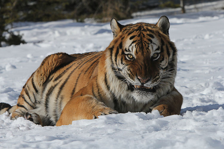 Portrait Of Tiger Lying On Snow