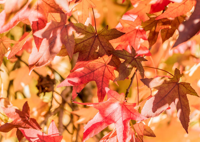 Autumn Change Leaf Plant Part Plant Maple Leaf Beauty In Nature Close-up Leaves No People Maple Tree Nature Tree Day Focus On Foreground Branch Outdoors Selective Focus Backgrounds Full Frame Natural Condition Autumn Collection Fall