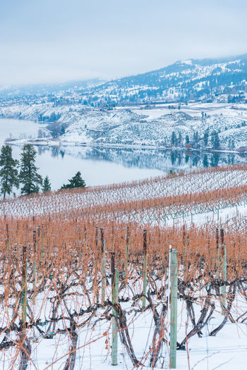 Snow covered vineyard in winter with Okanagan Lake and mountains in distance Afternoon Beautiful British Columbia, Canada January Naramata Naramata Bench Okanagan Lake Scenic Travel View Beauty Clouds Day Fog Grapevines  Landscape Mist Mountains Nature Outdoors Snow South Okanagan Tourism Vineyard Winter