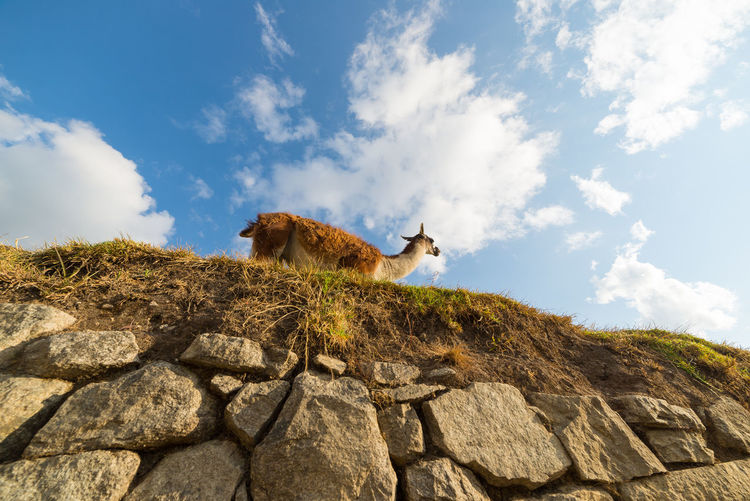 Low angle view of guanaco on grass against sky