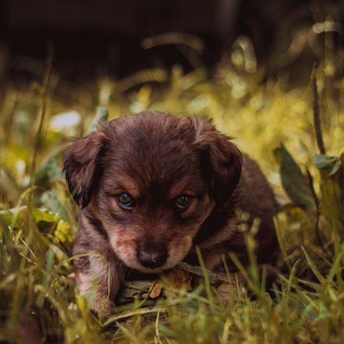 eyes of cuteness Day No People Brown Animal Themes Animal Nature Green Fantasy Pets Portrait Dog Puppy Cute Looking At Camera Young Animal Grass Animal Eye Animal Hair HEAD Animal Face Eye Ear