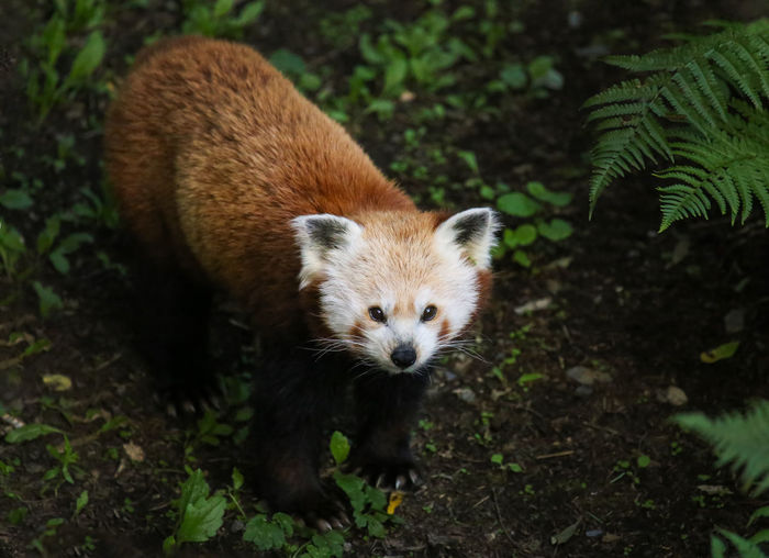 Close-Up Of Red Panda On Field