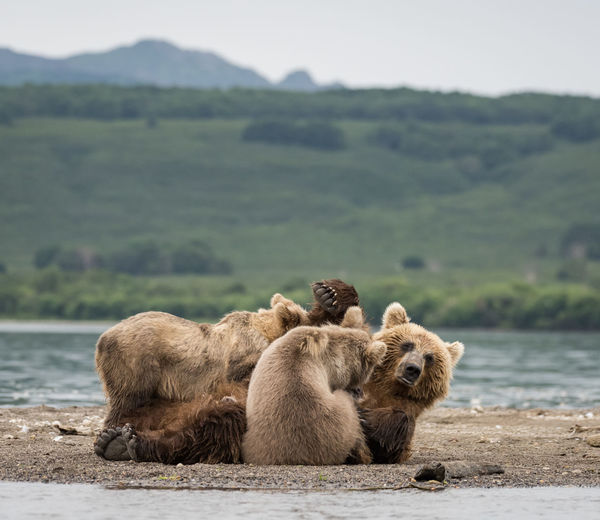 Grizzly bear with cubs by river against landscape