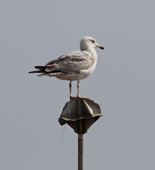 Seagull perching on a pole