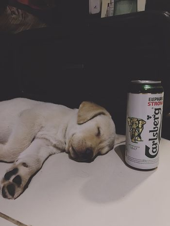 Tory #Labrador #baby Pet Photography  #petlove Indoors  Text Human Body Part One Person Communication Western Script Food And Drink Still Life