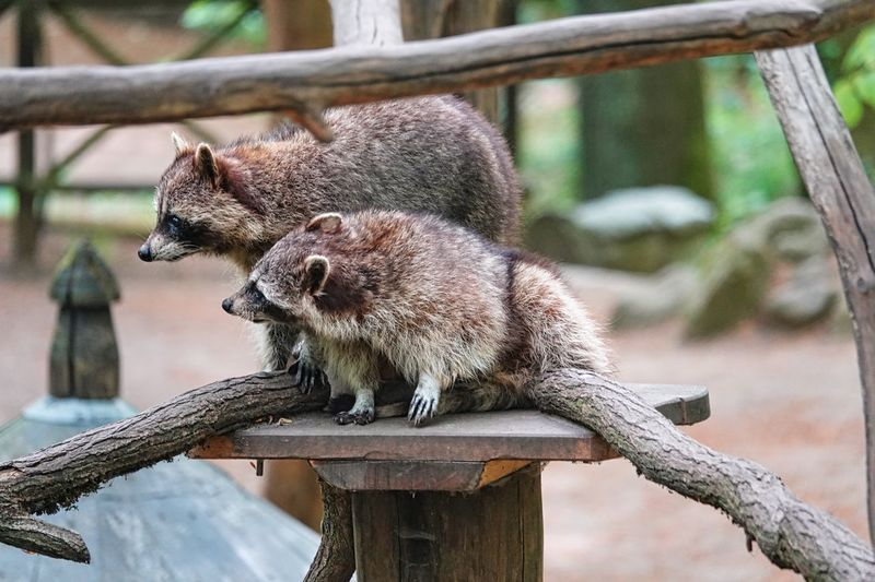 Racoons Racoon Animal Themes Animal Animal Wildlife Animals In The Wild Mammal No People One Animal Vertebrate Focus On Foreground Animals In Captivity Zoo Day Tree Branch Relaxation Nature Outdoors Wood - Material Brown Close-up