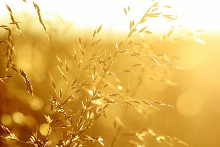 Wild Grasses Seeds Golden Hour Colours Of Nature Nature Nature_collection EyeEm Nature Lover The Great Outdoors - 2016 EyeEm Awards Walking Around Taking Photos Taking Pictures Grasses No People Sunset Fields Hills Bokeh Wind Windy 43 Golden Moments Bartvanhouben