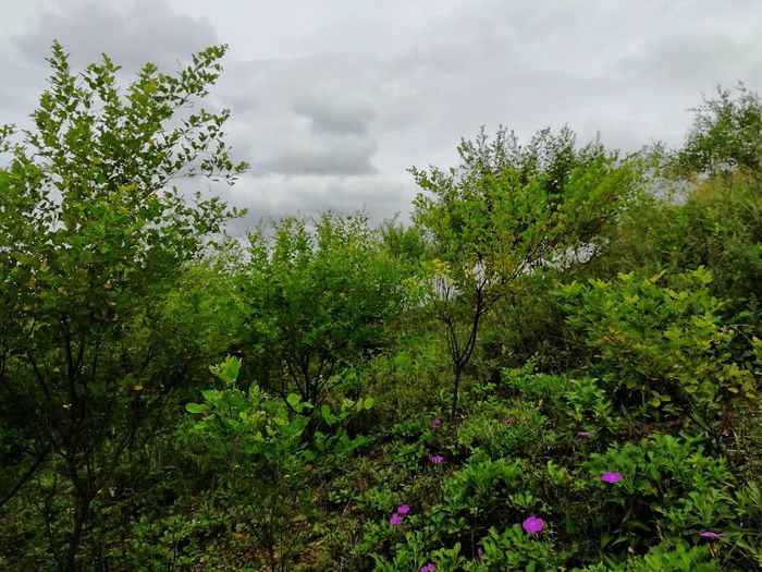 The typhoon is coming Mountain Cloud - Sky Day Lespedeza Nature Summer Flowers Non-urban Scene Typhoon Tree Sky Green Color Storm Cloud Dramatic Sky Scenics