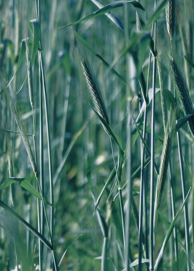 wheat on field Copy Space Wheat Abstract Agriculture Backgrounds Beauty In Nature Blade Of Grass Cereal Plant Close-up Concept Countryside Crop  Farm Field Focus On Foreground Grass Green Color Growth Landscape Nature Outdoors Plant Plantation Selective Focus Softness