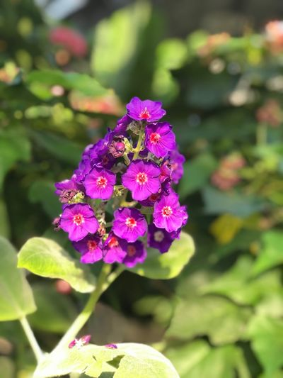 Flower Beauty In Nature Nature Fragility Growth Purple Petal Focus On Foreground Outdoors Plant Day Flower Head Freshness Pink Color Blooming No People Close-up