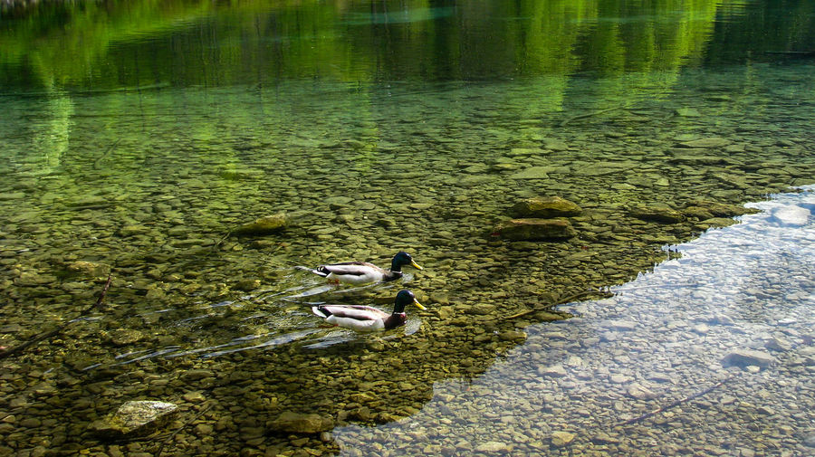 Two ducks swimming in a crystal clear lake with reflection Green Reflection Animal Themes crystal clear Day Domestic Animals Ducks Grass High Angle View Lake Mammal Nature No People Outdoors Pets Rocks Swimming Water