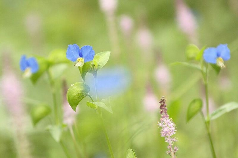 Flowers SmallFlowers Blue Nature Photography Japan Photography