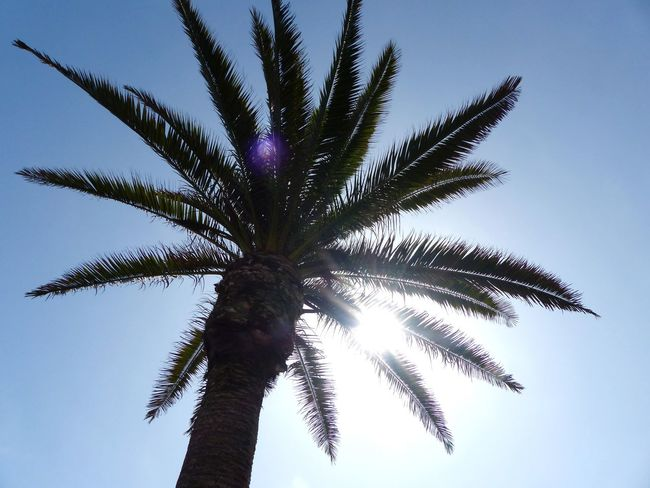 Palm Leaf Tree Purple Palm Tree Growth Outdoors Close-up Tropical Climate No People Day Sky Nature Tree And Sky Palmbeach Blue Sky Africa Namibia Swakopmund First Eyeem Photo Nice Weather Beauty In Nature Beach Promenade Tree And Sun Palm Tree Palm