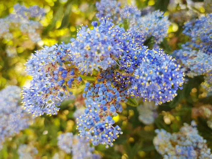 blue branch in bloom Blue Flower Flower Head Tree Branch Springtime Close-up Plant Blossom In Bloom