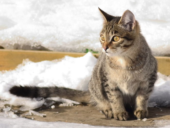 Russian cat, Domestic Animals Animal Themes Pets Domestic Cat Cat One Animal Feline Mammal Vertebrate Looking Away Close-up Alertness Whisker Zoology Animal Curiosity Whiskers Animal Head  Animal Eye No People