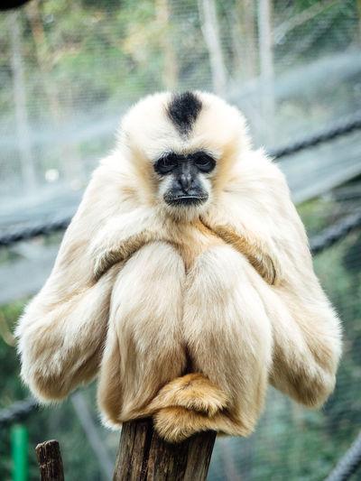 Ape Chilling Lonely Zoo Animal Animalportrait Animals Bokeh Bokeh Background Bored Gibbon Mammal Monkey One Animal Outdoors Portrait Posing Wildlife Wildlifephotography Zoo Animals