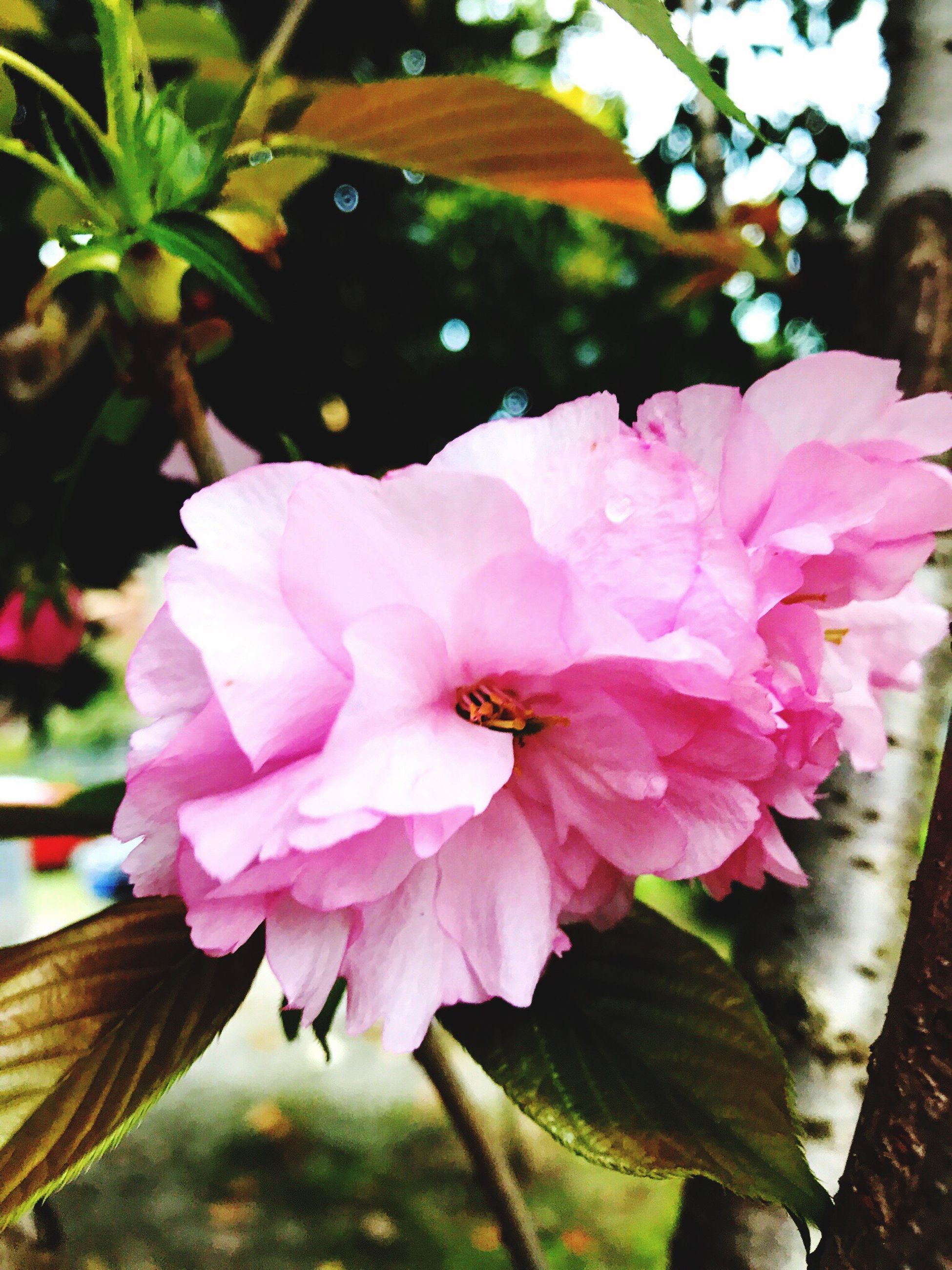 flower, fragility, freshness, nature, beauty in nature, growth, petal, flower head, close-up, blooming, pink color, leaf, plant, no people, outdoors, day, water
