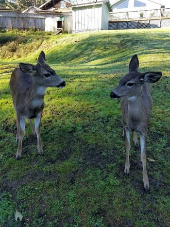 Brother And Sister Deer Baby Doe's Deers Does Baby Deer Animal Themes Domestic Animals Mammal Young Animal Pets