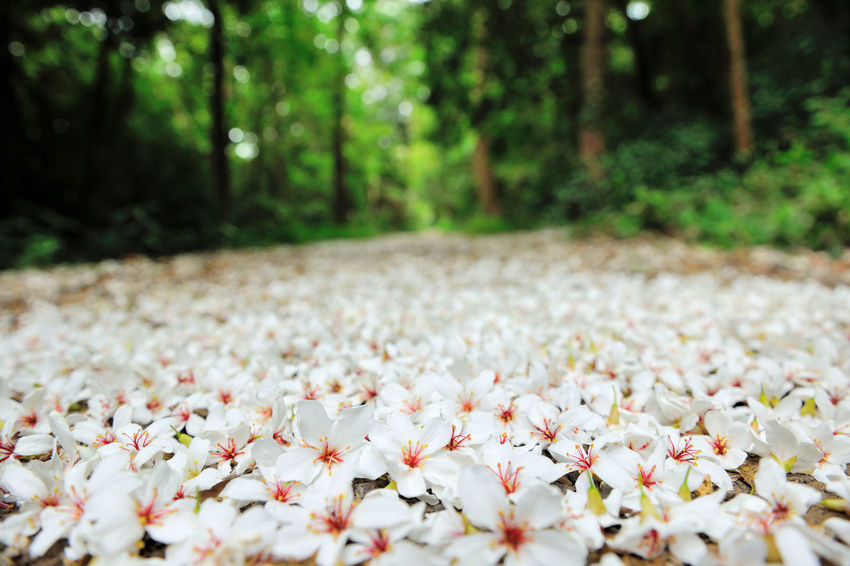 Quiet forest, floating under the white tung flowers, covered with country roads. Country Road Falling Natural Abundance Beauty In Nature Close-up Day Delicate Falling Flowers Flower Flower Head Forest Fragility Fresh Freshness Growth Nature No People Outdoors Petal Plant Plant Flowers Tranquility Tung Blossom White Flowers