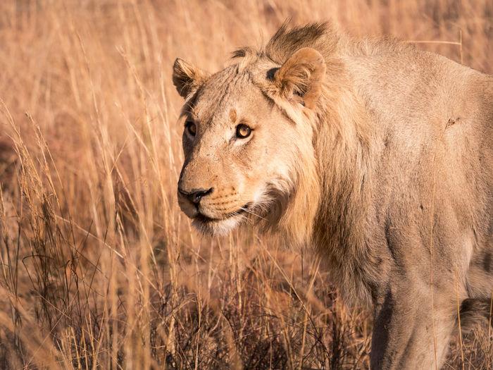 Lion Walking On Field