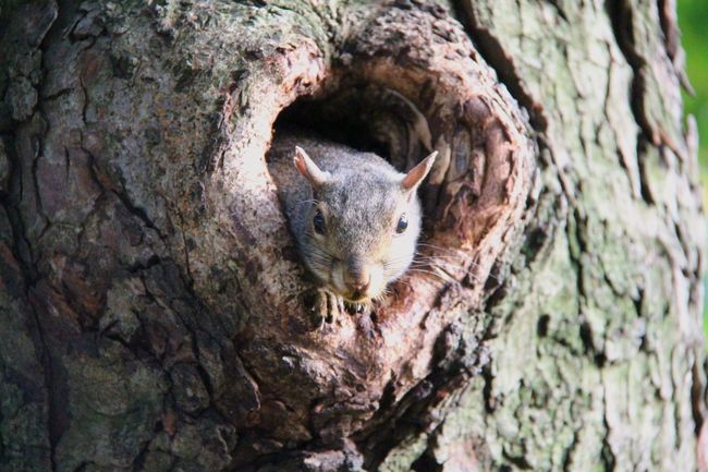 EyeEm Selects Tree Trunk Rodent Animal Wildlife Tree Close-up One Animal Nature Outdoors Day Mammal No People Animals In The Wild Animal Themes squirrel The Week On EyeEm Olga Mulugeta Бостон Nature Animal