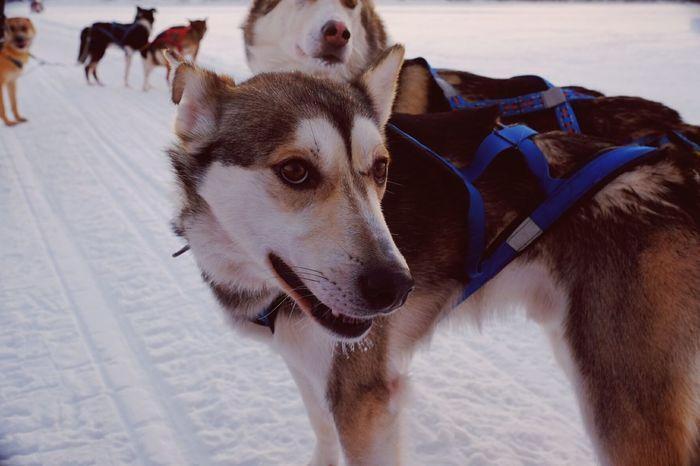 Husky Dog Sledding Dogs Dogstagram Winter Wonderland Winterwonderland Snow Hanging Out Sweden Arctic Circle Winter Kiruna Fujifilm FUJIFILM X-T1 Xt1 Its Cold Outside