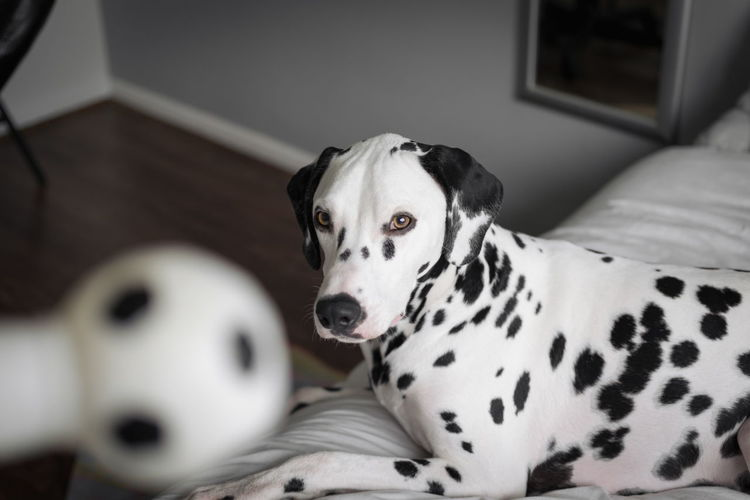 High Angle View Of Dalmatian Sitting On Bed At Home
