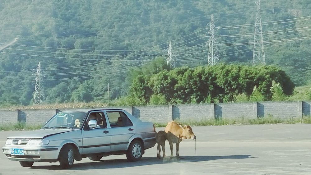 Nature Natural Nature_collection Nature Photography Car Animal Cattle Green Mountain Trees Human And Animal Life