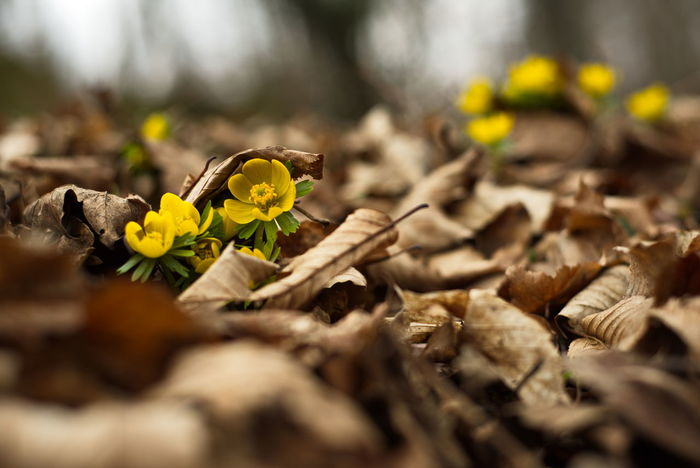Yellow Autumn Dry Leaf Nature Flower Outdoors Close-up Change Sunlight Nostalgia Beauty In Nature No People Social Issues Fragility Forest Winter Day Freshness Flower Head Deutschland Spring Flowers Springtime Germany Spring