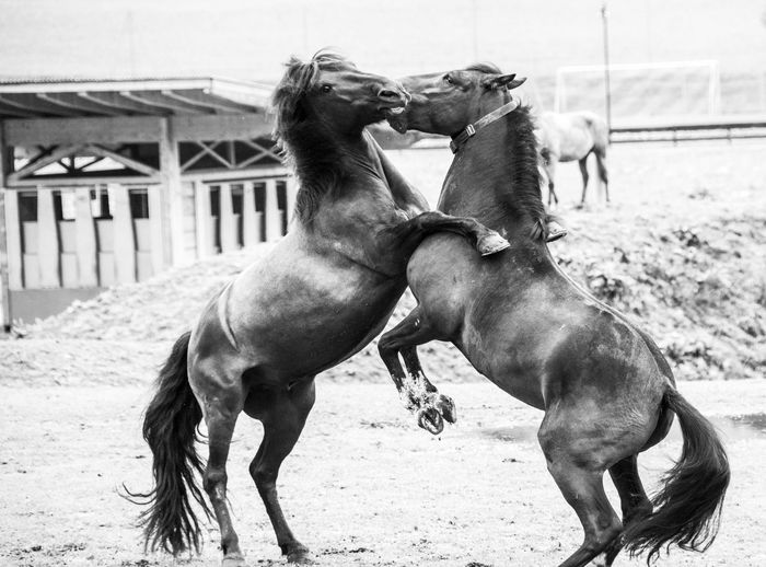 two wild stallions fight on the way Mammal Domestic Animals Domestic Pets Vertebrate Day Animal Wildlife No People Stallions Wildlife Figthing Horses Horseshoe HORSE TEETH Biting Meadow Animal Animal Themes Group Of Animals Two Animals Land Horse Livestock Fighting Focus On Foreground Nature Field Conflict Aggression  Herbivorous Animal Family Ranch