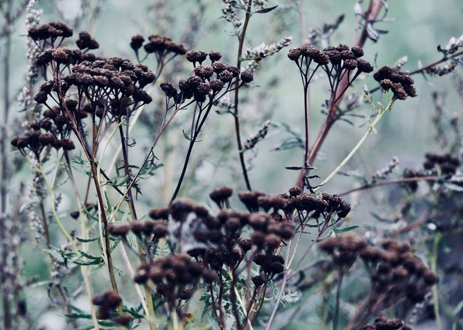 dried tansy flowers on the field Art Is Everywhere Autumn Colors Field The Week Of Eyeem The Week On EyeEm Wildflower Backgrounds Change Close-up Dead Plant Dried Plant Dry End Of Season  Fall Flora Fragility Garden Growth Nature Outdoors Plant Season  Tansy Tree