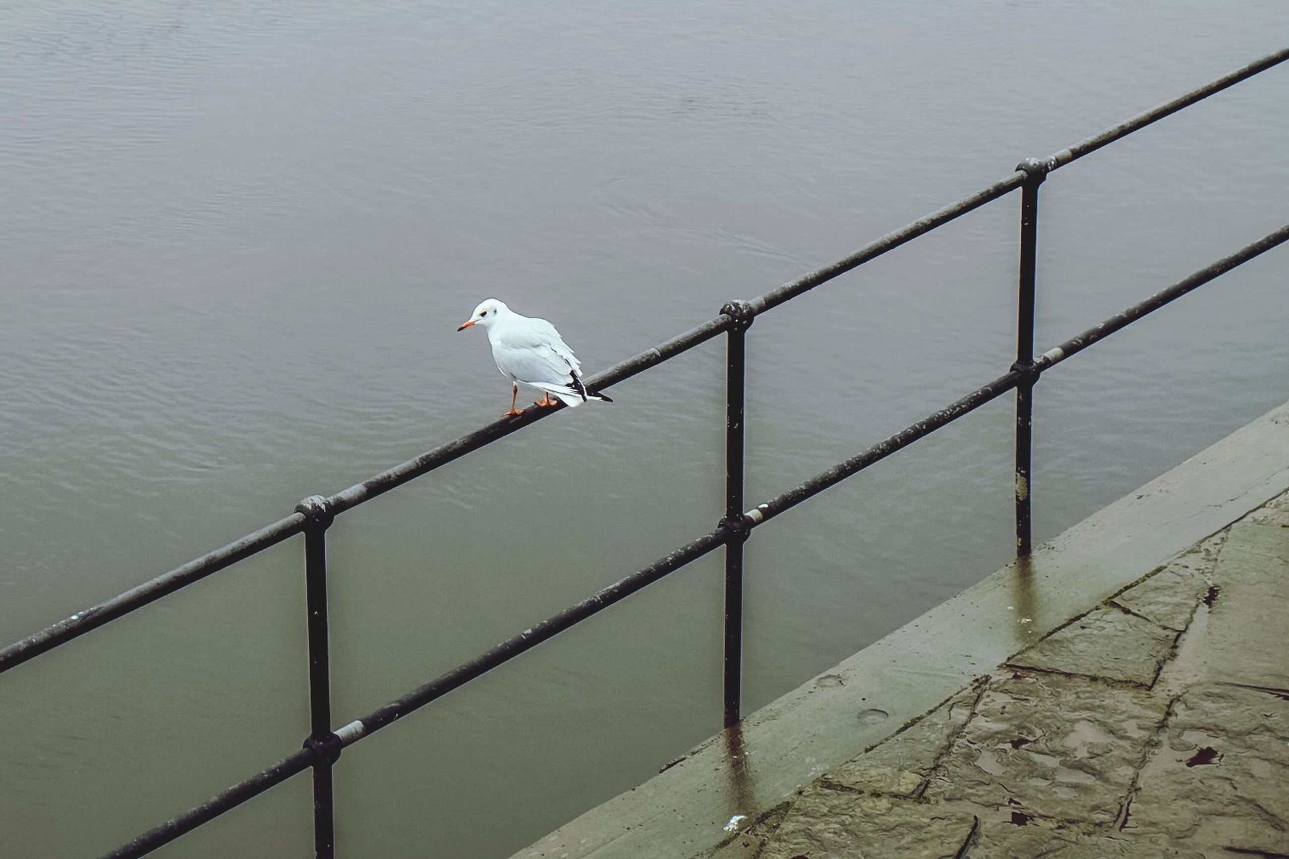 bird, water, animal themes, sea, wildlife, animals in the wild, perching, seagull, one animal, railing, nature, pier, day, outdoors, rippled, no people, lake, tranquility, protection, beauty in nature