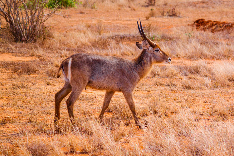 Gazelle on field at tsavo east national park