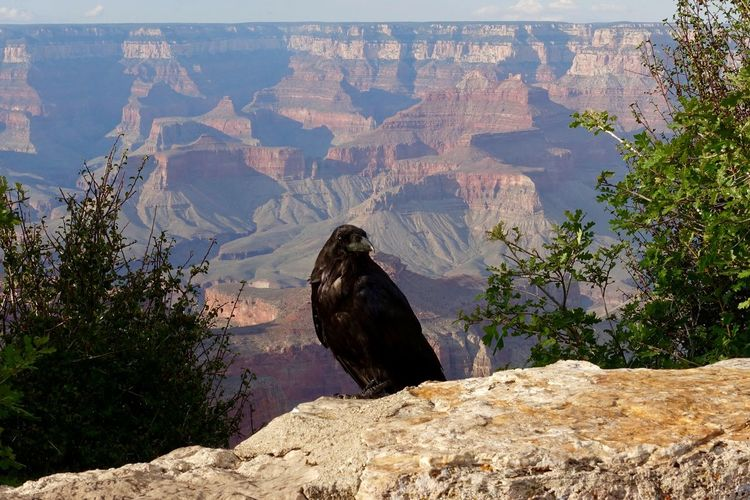 Vulture On Cliff Against Grand Canyon National Park