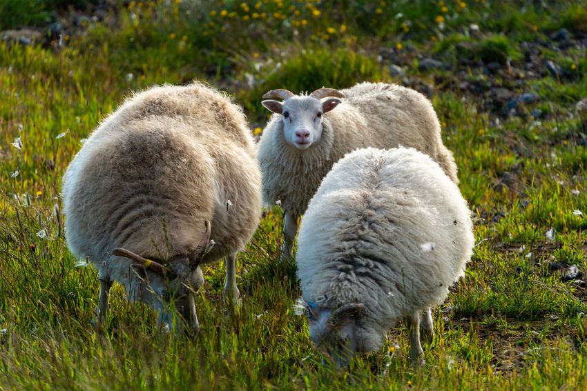 Animal Animal Family Animal Themes Beautifuliceland Day Domestic Domestic Animals Field Grass Group Of Animals Herbivorous Land Livestock Mammal Nature No People Outdoors Pets Plant Sheep Standing Two Animals Vertebrate Young Animal