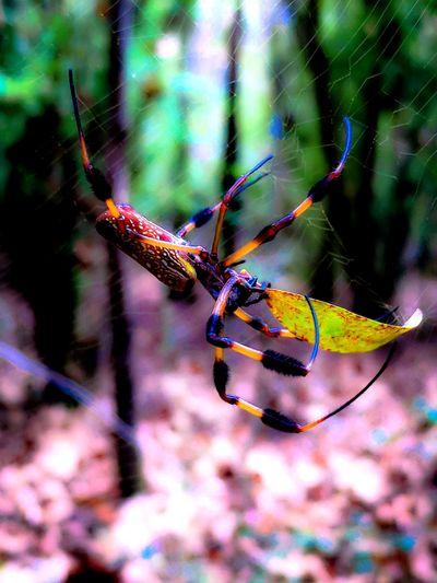 Nephila Golden Orb Weaver Spider Golden Orb Spider Golden Orb Banana Spider Spider Web Spider Arachnid Weaving Web