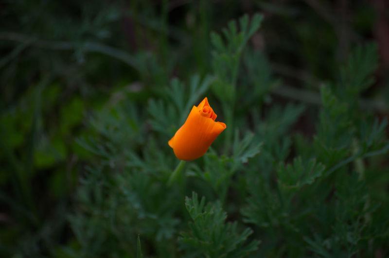 Close-up of orange flower on plant