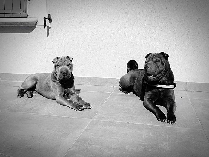 Animal Dogs Relaxing Black & White Black And White Blackandwhite Relax Chien Dog❤ Dog LoF Sharpei Dog Love Love ♥ Blackandwhite Photography Dogs Of EyeEm Animals Animals In The Wild