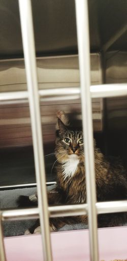 Main coon sitting in cage looking at camera after surgery in vet clinic. angled shot
