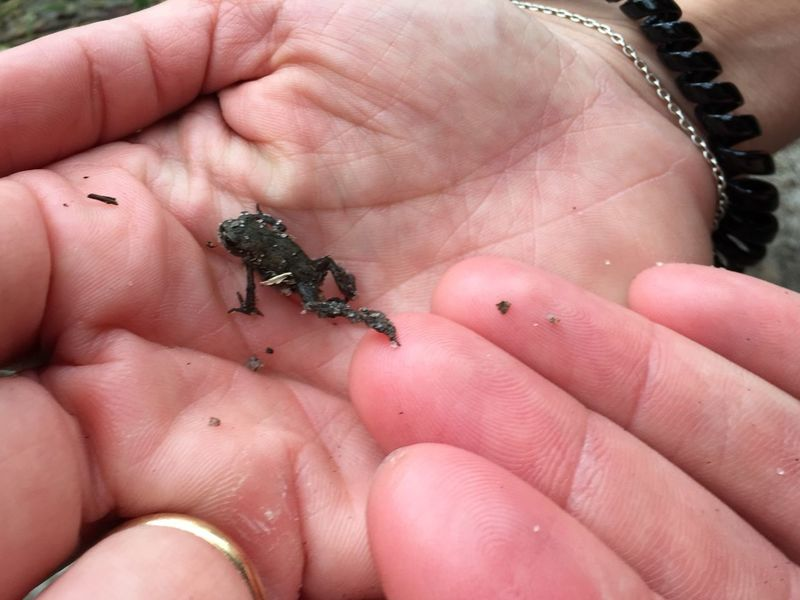 Babyfrog Babyfrog EyeEm Selects Human Hand Human Body Part Hand Animal Wildlife One Animal Finger Animals In The Wild Human Finger Body Part Small Reptile Close-up