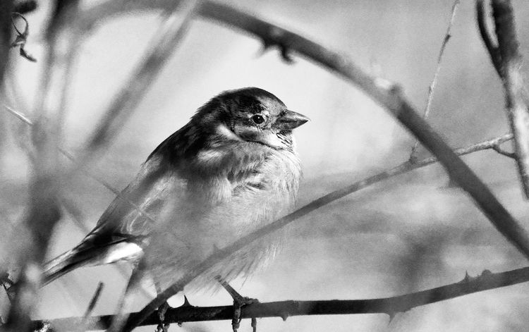 Perching sparrow in black and white Animal Themes Animal Wildlife Animals In The Wild Bird Black And White Photography Black And White Portrait Branches No Leaves Close-up Nature One Animal Outdoors Perching Perching Birdlife Beautiful Beauty In Nature Perching Birds Perching On A Branch Sparrow Wings