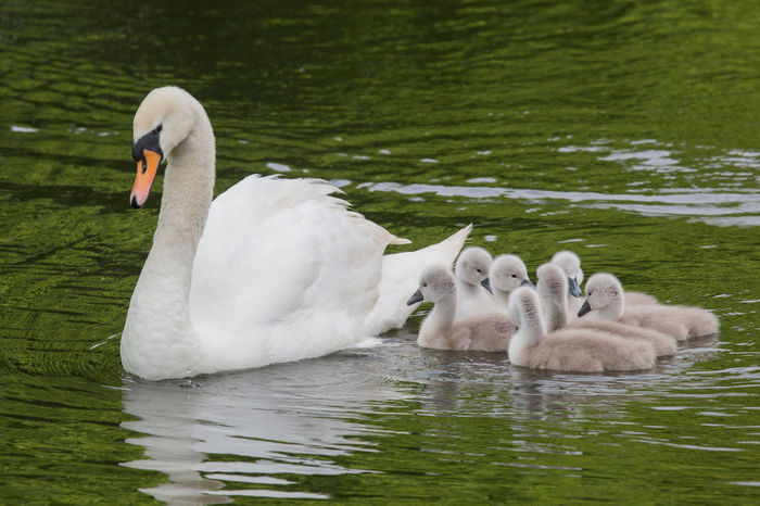 A family of swans on the Sankey Canal, Cheshire Algae Birds_collection Canal Canals Cheshire Cygnet Cygnets Day Nature Outdoors Sankey Sankey Valley Park Swan Swans Warrington Wildlife