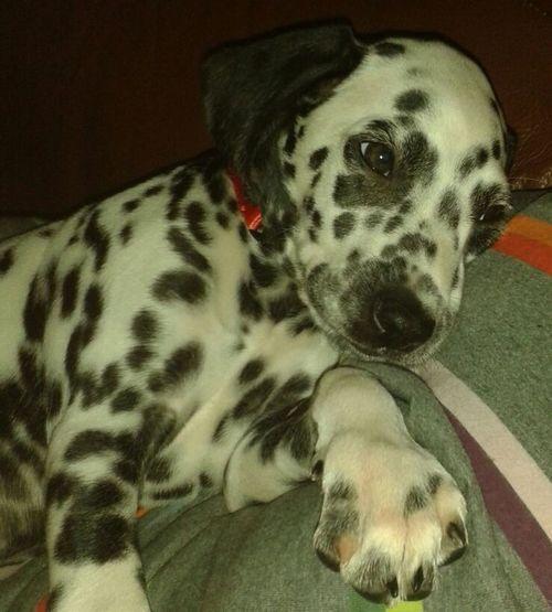 Dog Dalmata