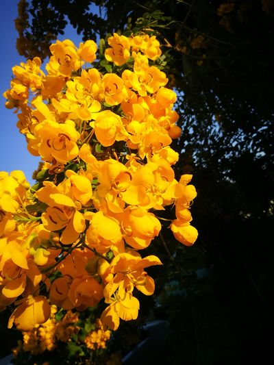 Yellow Nature Growth Beauty In Nature Freshness Petal Fragility Outdoors No People Tree Close-up Flower Head Day