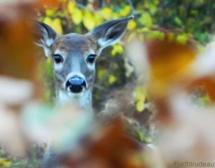 Caught by a doe Portrait Looking At Camera One Animal Focus On Foreground Close-up Front View Selective Focus Mammal Snout Looking Day Outdoors Zoology No People Sethtrude Photography Whitetail Hunting Doe Deer Caught Wildlife Wildlife & Nature Wildlife Photography Wild