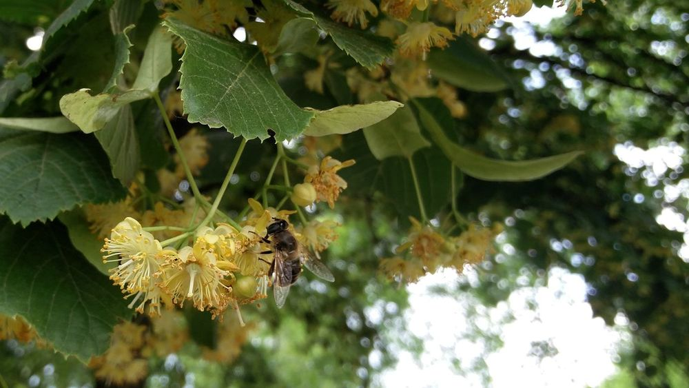 Be a Bee. Bee Pollen Linden Lime Tree Flowers Close Shot Hungary Mende
