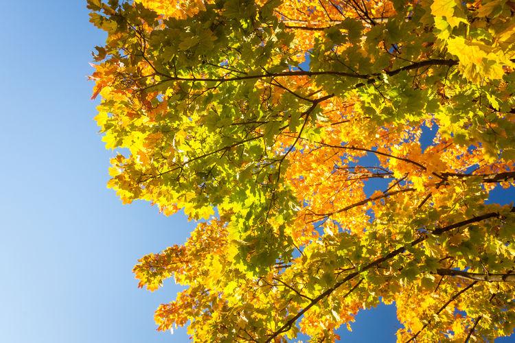 Autumnal golden