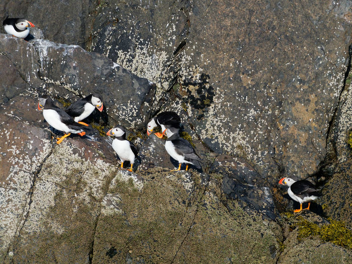 High angle view of puffins on rock