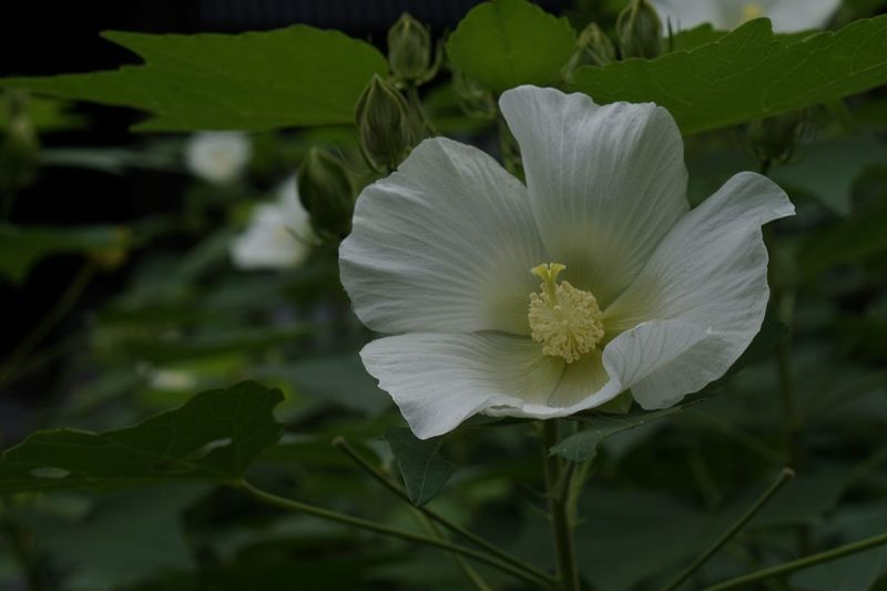 Flower Flowering Plant Plant Petal Freshness Flower Head Close-up Fragility White Color Nature Leaf Outdoors